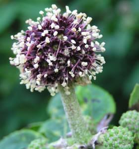 Оригинальное растение для украшения сада