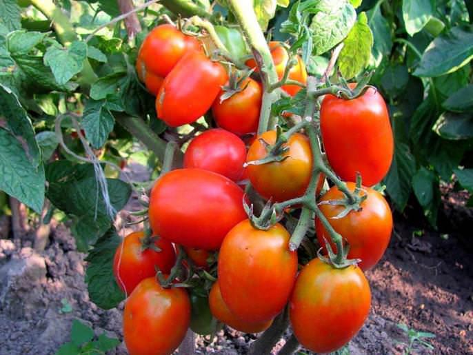 Низкорослые томаты неприхотливы, оптимально подходят для начинающих и малоопытных овощеводов