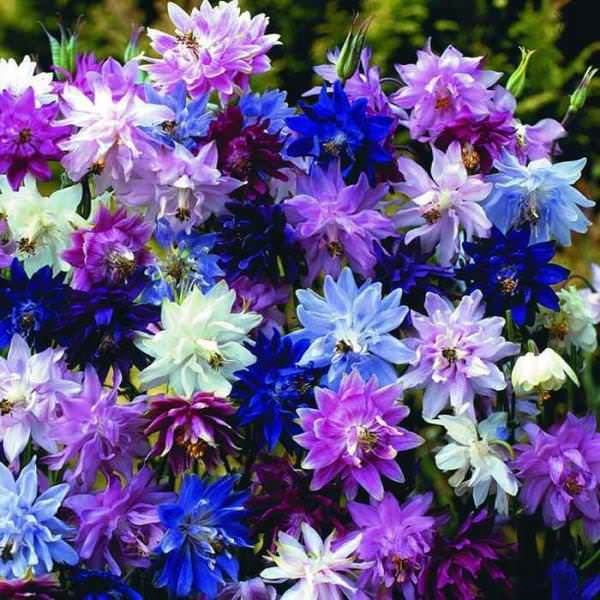 Как и любое другое декоративное растение, аквилегия восприимчива к некоторым заболеваниям и вредителям