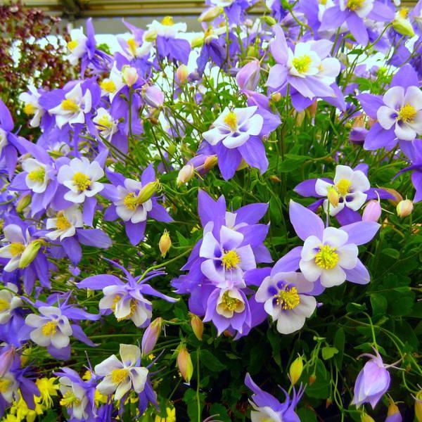 Определяя схему, необходимо обратить внимание на возраст растения, степень его развития и сорт, в зависимости от которых посадка может быть густой или стандартной