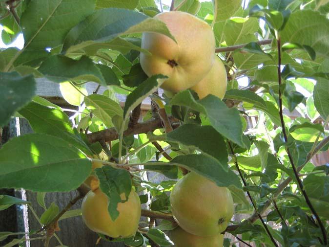 Яблоня «Розовый жемчуг» может с успехом культивироваться как в промышленных масштабах, так и на индивидуальных садовых участках