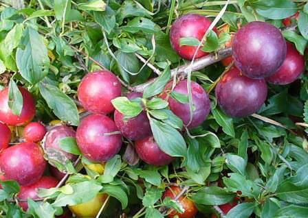 Генерал — устойчивый к заморозкам и заболеваниям сорт алычи, дающий крупные, кисло-сладкие плоды
