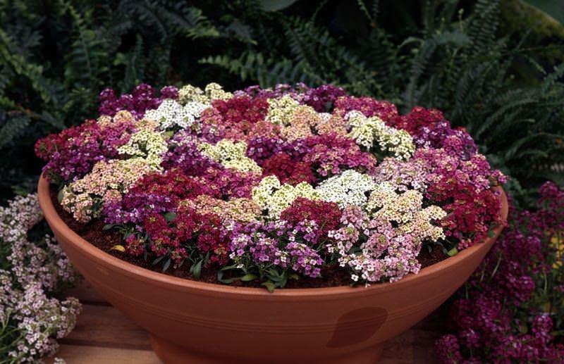 Алиссум является очень компактным растением, его высота всего 20-40 см.