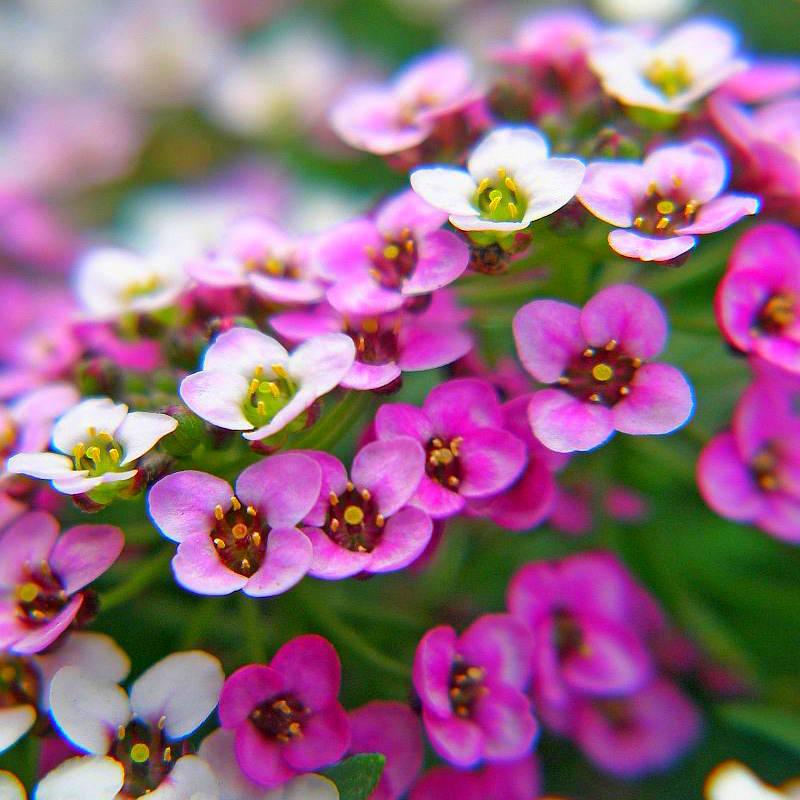 Цветки алиссума морского синие, розовые и белые