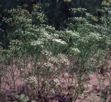 Размножают анис семенами. Предпочтительны плодородные некислые почвы