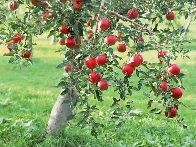 Все сорта яблонь требуют подготовки к зиме