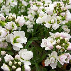 Резуха представляет собой многолетнее вечнозеленое растение