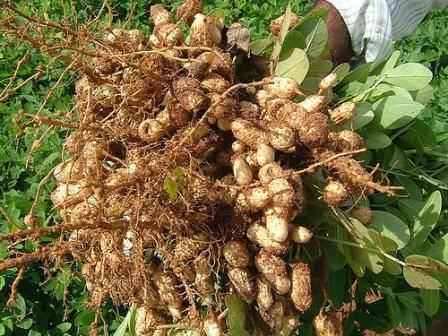 Точное время сбора урожая определить довольно сложно, поскольку бобы арахиса созревают под землей