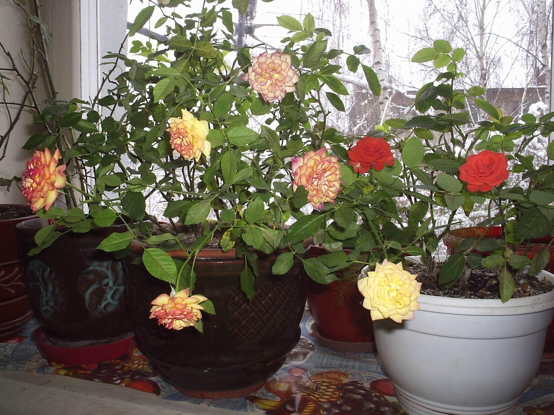 Если домашняя роза сохнет, это является первым признаком недостатка влаги, поэтому старайтесь обеспечивать своевременный полив