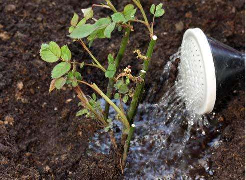 Розы любят свет, тепло и свежесть, поэтому высаживать розы желательно в тех местах вашего сада, где нет застоя влаги, сквозняков и постоянной тени