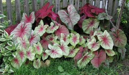 Различные сорта этого растения имеет не только различную окраску, но и высоту