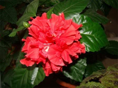 Специалисты вообще советуют внимательно отнестись к тем условиям, в которых растение находилось в магазине, и по максимуму повторить их дома