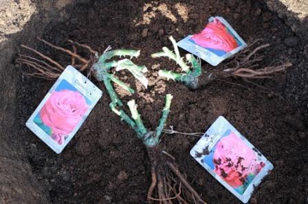 Стоит только купить чайно-гибридные розы нужного сорта, изучить возможные отличия в уходе от основных правил, правильно обработать и подготовить саженцы, и приступить к высадке