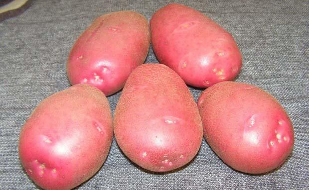 Картофель «Любава» характеризуют как один из наиболее вкусных и высокоурожайных