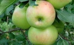 «Богатырь» – зимний сорт яблок