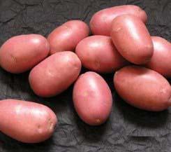 «Лаура» относится к самым популярным сортам краснокожурного картофеля