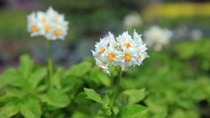 Картофель «Лапоть» характеризуется как высокоурожайный и устойчивый к неблагоприятным внешним воздействиям