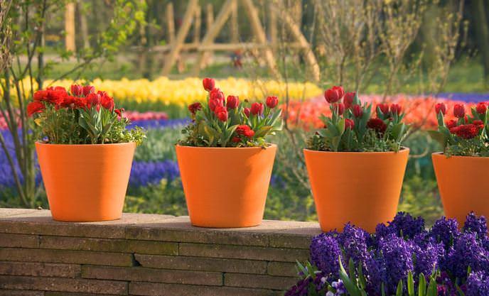 Тюльпаны являются удобным растением для выполнения контейнерного озеленения