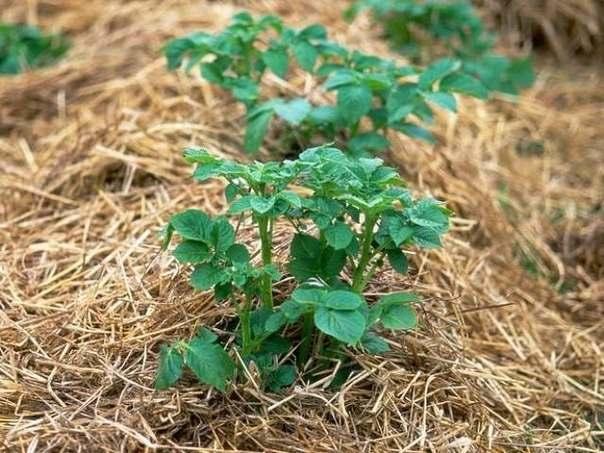Выращивать картофель культивировать под сеном очень выгодно