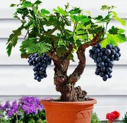 Вырастить виноград из косточки можно в домашних условиях