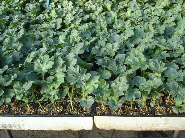 Для северных широт и средней полосы подходящим считается рассадный способ выращивания арбузов