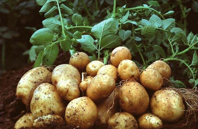 Сорт «Ассоль» демонстрирует высокую урожайность вне зависимости от погодных условий и климатической зоны