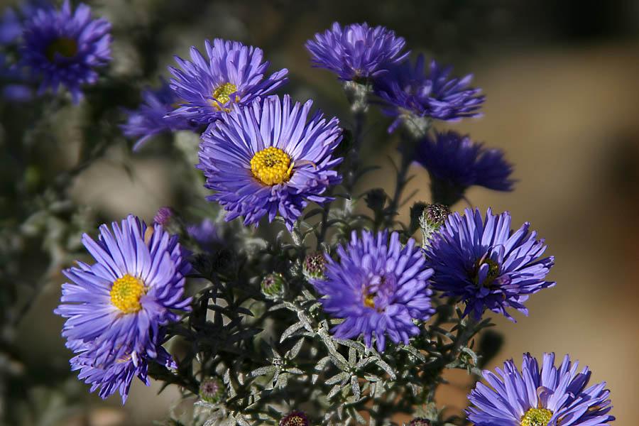 Астры многолетние: названия кустарниковых сортов и особенности посадки