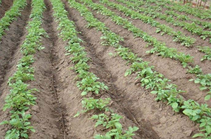 Прополки картофеля «Рокко» должны быть максимально тщательными и по возможности регулярными