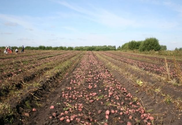 Картофель «Рокко» заслуженно считается одним из рекордсменов по урожайности