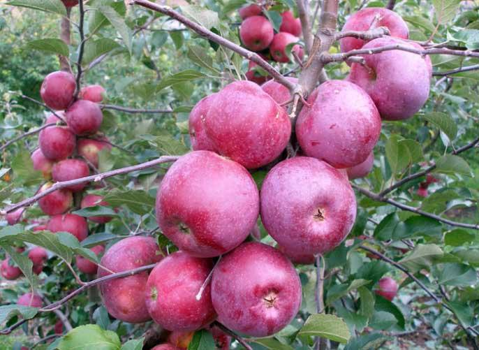 Урожайность взрослой яблони составляет порядка семидесяти килограммов фруктов