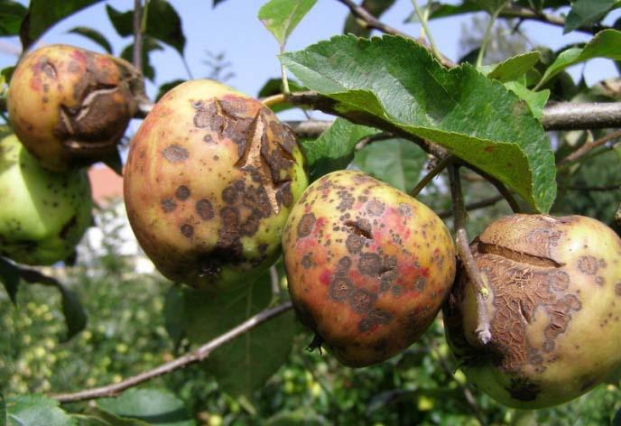 Парша поражает листву и яблоки, возникает преимущественно весной