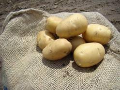 Картофель «Аврора» относится к сортам столового назначения