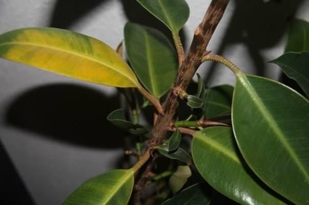 Недостаточное освещение фикуса может привести к пожелтению листьев