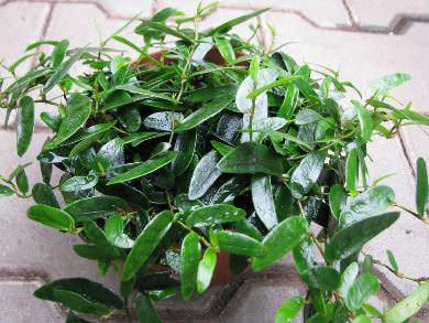 Ficus pumila anuk