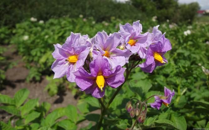 Сорт «Любава» обладает устойчивостью к возбудителю рака картофеля
