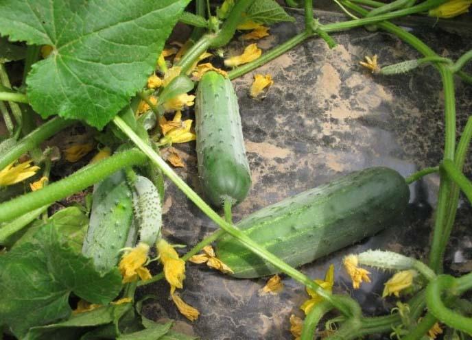 Огурец «Гектор f1» прекрасно растет при выращивании на плодородных грунтах
