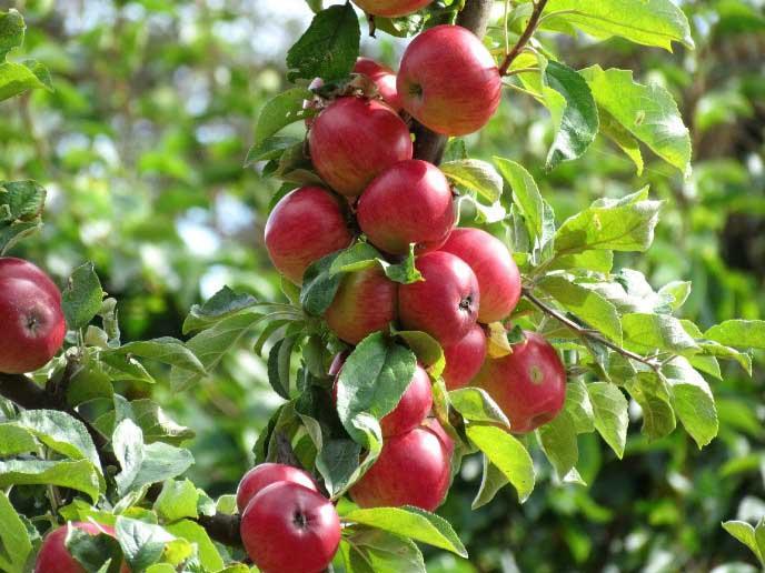 Яблони сорта «Беркутовское» дают ежегодный обильный урожай до 70 кг фруктов с одного дерева