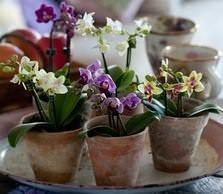 Цветоводы-любители полюбили мини-орхидеи за свойственную им компактность