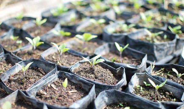 Желательно выращивать баклажан через рассаду