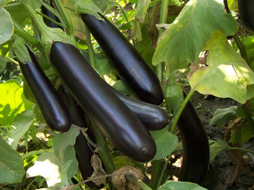 На данный момент, существует действительно большое количество сортов баклажанов, которые можно выращивать в теплицах и открытом грунте