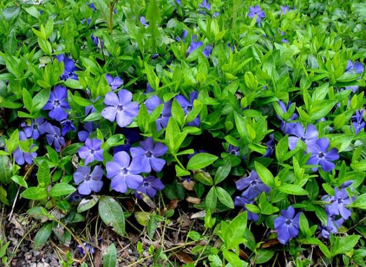 Барвинок считается не только оригинальным и симпатичным внешне растением, но и магическим цветком, который обладает великой силой любви, богатства и защиты рода