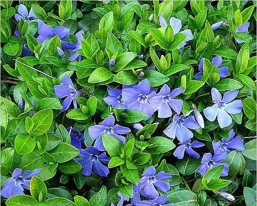 Родиной растения с длинными побегами, темно-зелеными листьями и несравненным голубым цветением, является Малая Азия и Европа, и именно поэтому он так неплохо приживается и в наших регионах