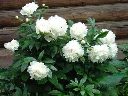 Белые пионы — прекрасные растения для вашего сада
