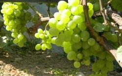 Виноград «Белое чудо» является гибридной формой