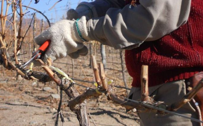 Бесштамбовая обрезка используется при выращивании культуры укрывным способом