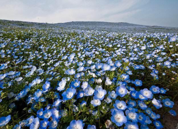 Незабудка Рештейнера – один из видов, который стелится по земле, образуя нежно-голубой ковер на поляне
