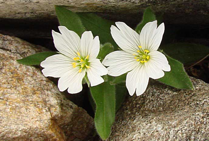 Насчитывается около двух сотен видов растения, среди которых и ясколка биберштейна, но активно выращивают лишь малое их количество