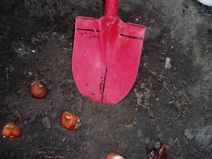 Глубина посадки составляеттри высоты луковицы, а плотность посадки не должна превышать двух её диаметров