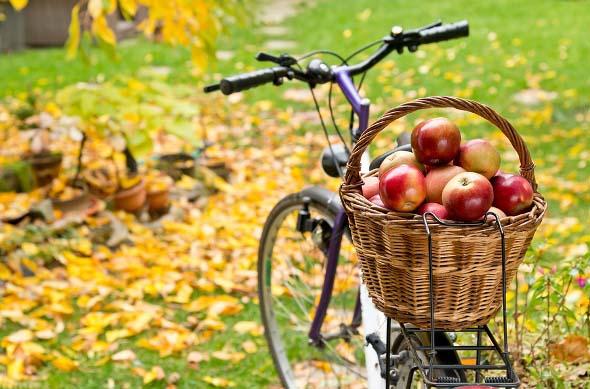 Основной период съемной зрелости яблок сорта «Флорина» приходится на последнюю декаду сентября