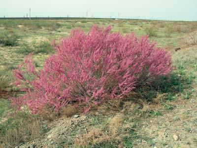 Где растет бисерник в природных условиях